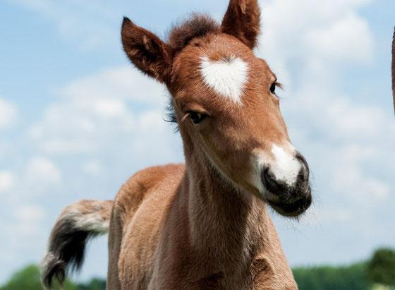 EponaQuest, Therapie mit Pferden, Islandpferdehengst, mit Pferden Tanzen, Leben im hier und jetzt