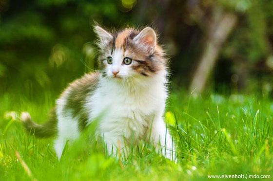 Ahsoka, Kitten, Norwegische Waldkatzenzucht, Kitten Verkauf, Katzenbabys, Norwegische Waldkatzenzucht Bayern München Starnberg