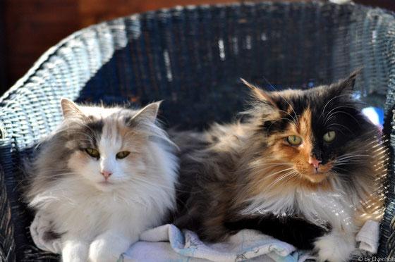 Norwegische Waldkatzen München Starnberg Bayern, Kitten, Verkauf, Hobbyzucht, Norwegische Waldkatzenzucht, Zucht München, Katzen, Elvenholt