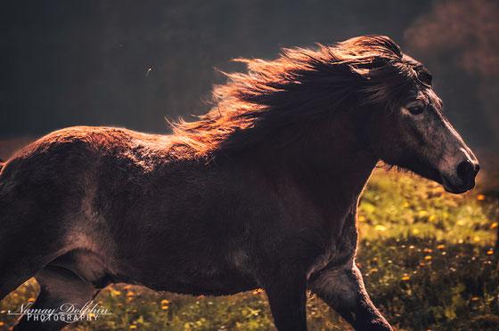 Orri frá Þúfu Nachkomme, Islandpferd Erdfarben, Ljósi von Ellenbach, Islandpferde Elvenholt München Therapie