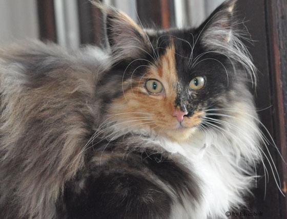 Tamayrah av Jostedalsbreen, Norwegische Waldkatzen Zucht München, Katzen