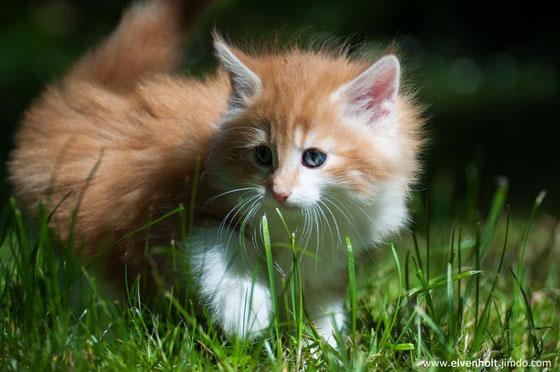 Kitten, Norwegische Waldkatzenzucht, Kitten Verkauf, Katzenbabys, Norwegische Waldkatzenzucht Bayern München Starnberg
