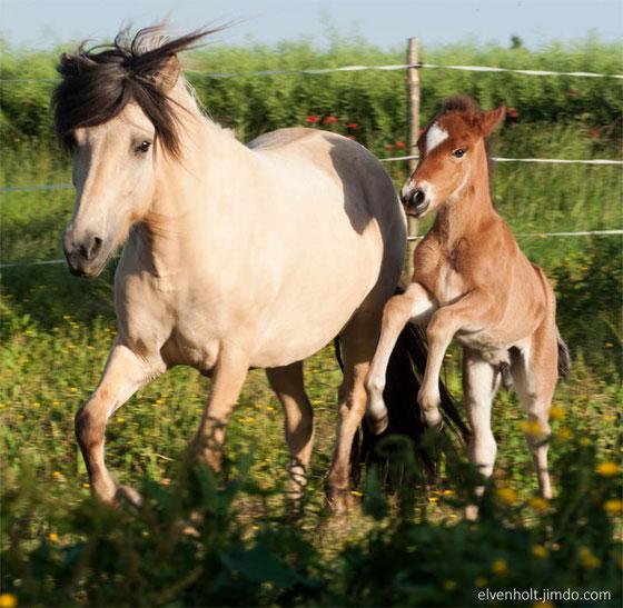 Hengst, Hengstfohlen, Zucht, wir verkaufen Islandpferde in besonderen Farben, toller Charakter, therapie in München mit Pferd