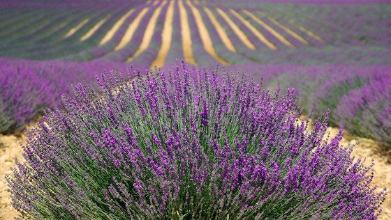 Pixabay.com Lavendelfeld