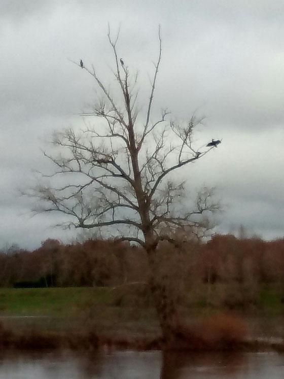 Quelques cormorans sèchent leurs ailes au milieu de la Loire