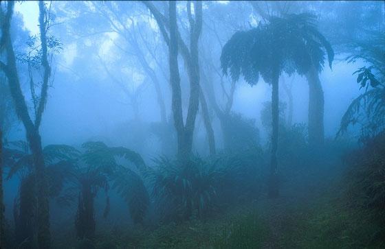 Réunion,fougères géantes de Tévélave