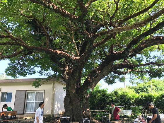 この樹を舞台に村松健兄の野外フェス。