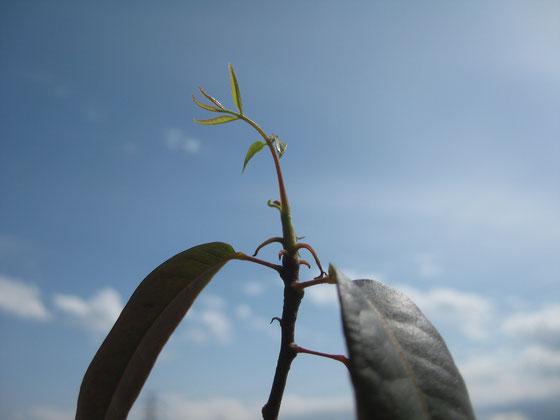 キューバンマホ・新芽