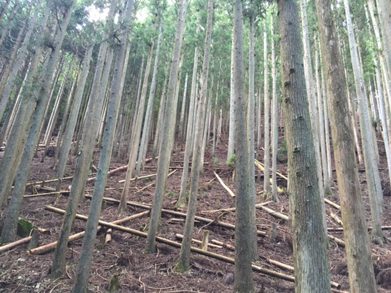 樹齢60年生の杉・倒れている丸太が枯らし中。