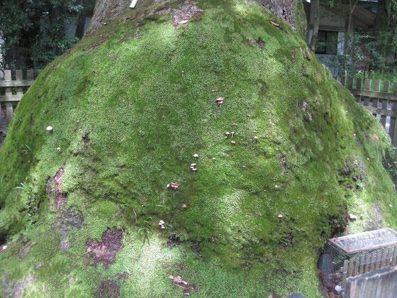 根元の巨大な瘤部分