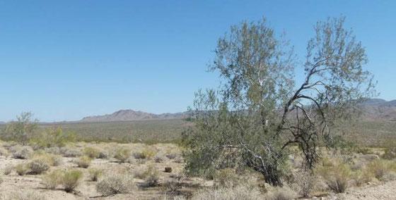 Olneya tesota  アリゾナ枯れすて木。