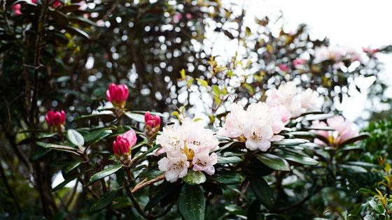 ヤクシマシャクナゲ見頃は、5月中旬から6月初旬。(黒味岳ガイドツアーにて)