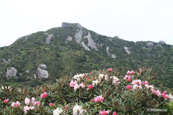 屋久島しゃくなげ,黒味岳,登山,ツアー