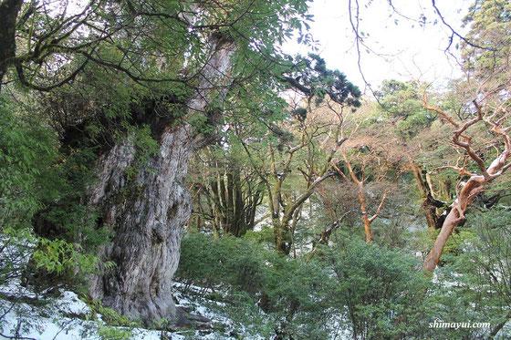 冬の縄文杉(2013年12月の縄文杉ガイドツアーにて)