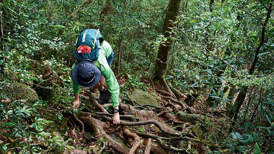 ストックは使えない、根の張る険しい登山道(モッチョム岳ガイドツアー)