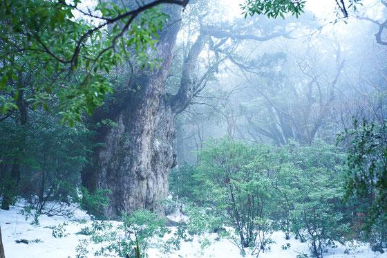 2018年12月の屋久島ガイドツアーの受付状況,縄文杉1泊ツアー,縄文杉日帰りツアー,白谷雲水峡