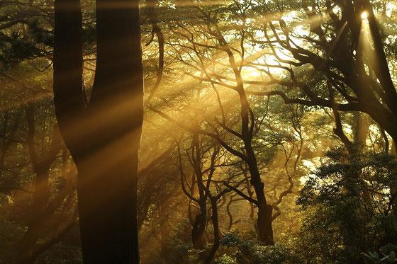 屋久島の森の夕景(縄文杉1泊ガイドツアーにて)