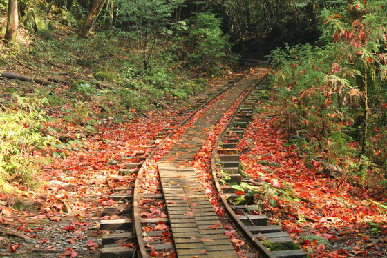 秋の縄文杉、トロッコ軌道(縄文杉ガイドツアーにて)