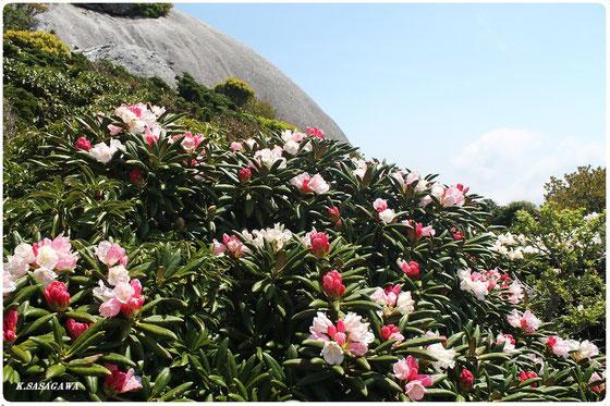 屋久島シャクナゲ 黒味岳ツアーにて。