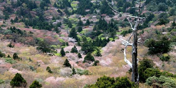 屋久島の春を代表する絶景、白谷雲水峡・太鼓岩からのヤマザクラと新緑。3月後半から4月頭が例年見頃。