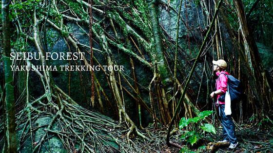 亜熱帯のジャングルへ巨木ガジュマルを見に行こう!西部林道ガイドツアー(大川の滝など島内観光付き)。