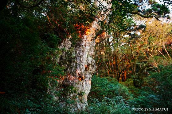 朝日を浴びる縄文杉は、縄文杉1泊ガイドツアーでなければ見られません。
