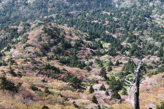 屋久島,お花見,ヤマザクラ,山桜,トレッキング,登山,一人旅,もののけの森,白谷雲水峡,太鼓岩