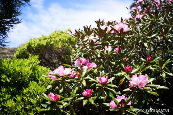 5月中旬から6月初旬にかけて咲く、屋久島しゃくなげ,宮之浦岳日帰りツアー