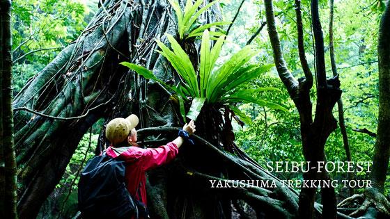 世界遺産の森へ。紅葉と照葉樹ジャングルトレッキング,屋久島12月