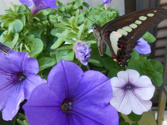 五月 工房に訪れた アオスジアゲハ蝶 あおい夢工房 炎と楽園のアート ちょっと一息