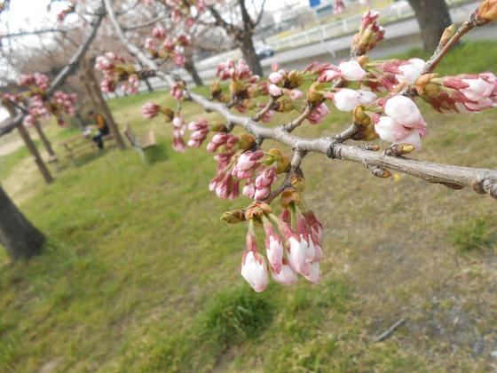 蕾の桜も魅力的🌸 先に見えるのは夢狂さん花より🍡❔ あおい夢工房 炎と楽園のアート