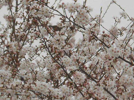 桜とヒヨドリ あおい夢工房 炎と楽園のアート