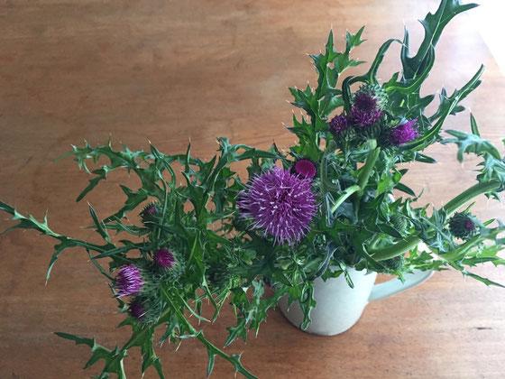 アザミ、、思っている以上に紫が濃く、トゲも鋭かった! 植物トゲブランプリがあるとすればおそらく一番じゃないかな?w