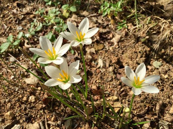 今朝里山歩いてるとゼフィランサスが咲いていた。、、、では無く庭の隅です。ww ここだけ切り取ると、グランドカバーの無いむき出しの土も素朴で悪くないんだけど、これは花に助けられてるからだと、。 庭全体だと単なる荒地。。。(汗) *憧れの緑の絨毯まで後六ヶ月!