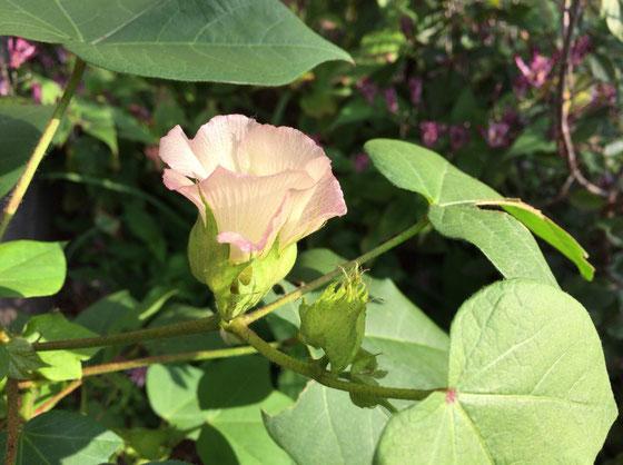 春に綿花の苗を3本植えてて2本は失敗、、で一本は順調に成長し花をつけてくれた♪ ドライにしたいんで、綿をつけてくれるといいんだけど。。。。