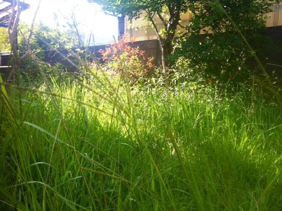 抜いても抜いても生えてくる雑草、、ナチュラル系の庭が好きだけど、これじゃワイルド系だわ!W 前回草引きしてからこの状態になるまで約一ヶ月、、綺麗な状態なのはだいたい一週間なんですね、、一週間しか持たないのに半日掛けて草引きなんて労働に見合わんわ!?(汗)