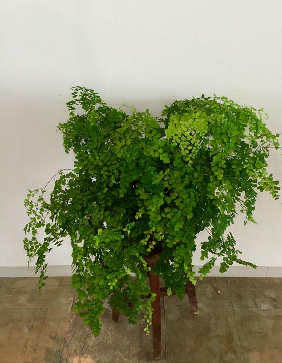 アジアンタイム、、爽やかでこれからの季節にいい感じ♪ 最近なんか植物の好みが変わってきた、。