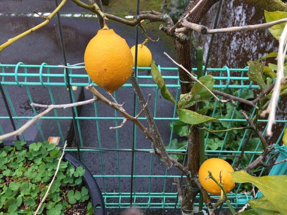 めっちゃ黄色でしょ~www 実家に帰ってたんですけど、レモンを持って帰れとうるさくて!w 前回帰省した時も「レモンを持って帰ってくれん?」って、、、で今回も! レモンレモンとなんやろ?(汗)まあ取りあえず2個を収穫しましたけど、。