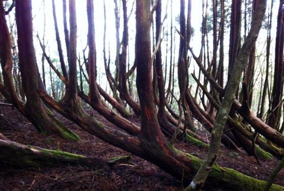 山に行くと生命力を感じることが多々ある、。 これもその一つ。 「曲がり杉」って名前が付けられてますがダジャレって、、、安っぽくていやだな。。。(笑)