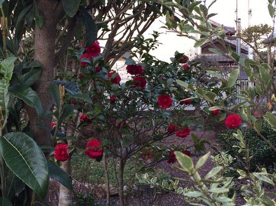 お隣さんの「椿」、、いいですね~♪ でも以前は好きな花じゃなかったんですよね、、好きな花の幅が広がりだしたような、、、ん~、、大人じゃん!w *うちの景観に取り込ませていただいてますwww