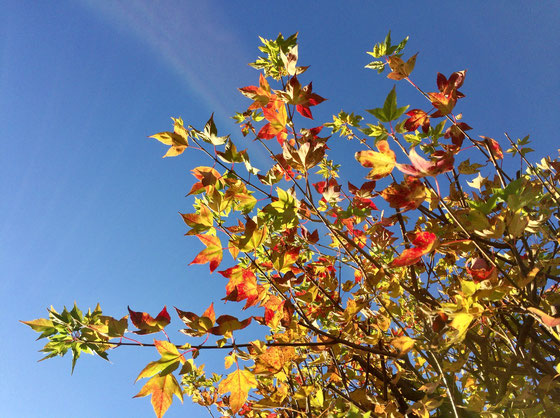 朝の空気は気持ちがいいですね♪   うちのフウの木も落葉をし始め、、、、