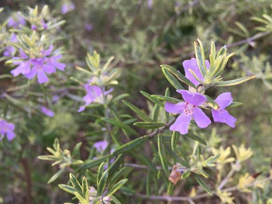 うちの庭に最初に植えたのがこのウエストリンギア♪ 二種類植えてコレは斑入りの方なんですけど、ウエリンちゃんは冬季以外は華を付けているんですよね~♪ 半日蔭でも元気に育つオススメの低木。 *今週に入って花粉症がましで薬を飲んでなかったけど今日は酷いな~、、、薬飲んどこ、。