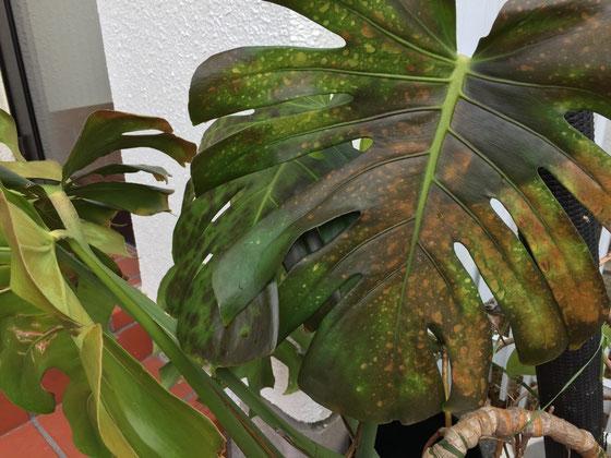 やってしまった!、、家の中に避難させてなかったんですよね~、、、(汗) 苺も順調に育ってたのに、葉が同じ状態になってしまって、、、、ごめんね。。。。