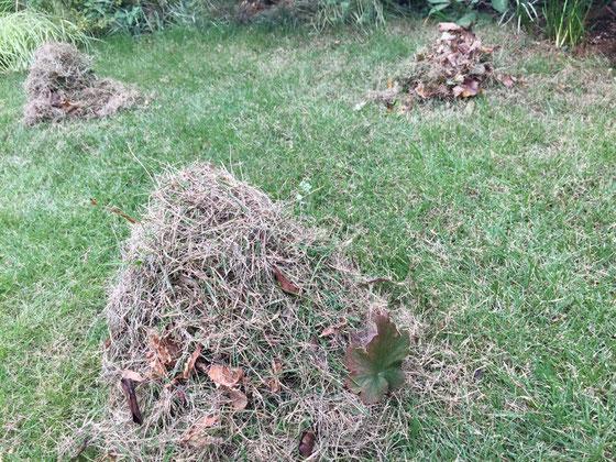 「サッチ」聞きなれない言葉でしょう? 刈りカスや枯れた芝生が地面に堆積して層を成したものをサッチといいます。 これをレーキでかき出しとかないと芝生の成長に良くないらしくて、、芝生って思ってた以上に手間が掛かるのね、。