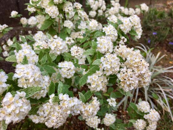 斑入りコデマリが開花した♪ と同時に黒ずんでしまった、。 たぶん雨が続いてその後蒸れたからだと、、、来年は純白の花を見せてもらいたいな~、。
