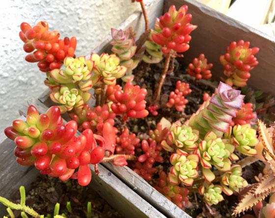 樹木の紅葉は秋ですけど、多肉植物は冬が紅葉期ですよね、、楽しませてもらってます♪