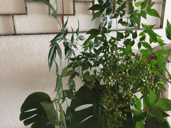奥さんがナンテンの切り枝を買ってきた、、、、家の庭に売るほど植わってるのに!? なんで??「え!これ庭のと同じなん???」って、、、なんやろ(汗) うちの奥さん雰囲気でしか庭見てないんやな~、、、(汗)