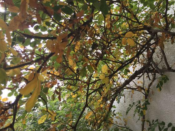 あんなに順調だったのに、、、(汗) この一週間で葉が黄色く枯れ、広がりつつある、。 安易にに活力剤をあげたりすりと良くないみたいだし、病気の症状にも当てはまらないし、害虫被害でもなさそうだし、、本によると水不足がこの枯れ方に近い感じだけど、、、最近雨も降ってるしな~、、それは違うような、、何が原因かわからない!(汗) バラはほんと難しい。。。