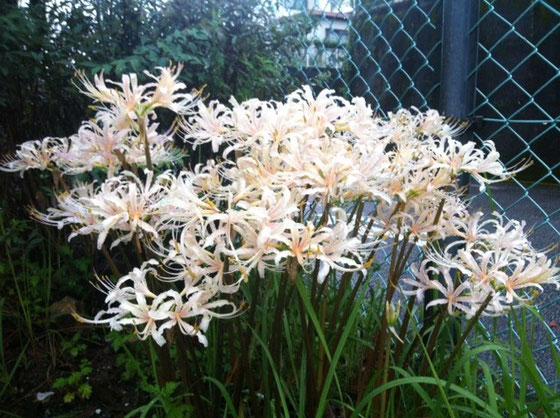 近所の公園に咲いている彼岸花、、白はアリだな♪