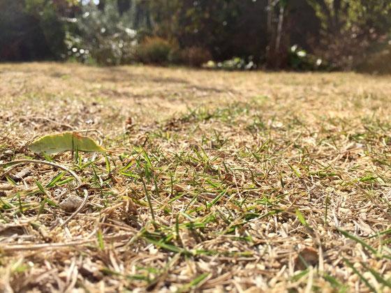 芝生が芽吹いてきた! 春近し♪ ただ、雑草との戦いも始まるかと、、、(汗)